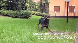 Miniature Pinscher Dog Play Workout