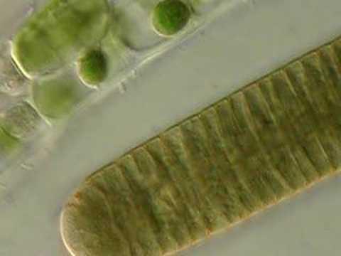 Cyanobacteria: Photosynthetic Prokaryotes | Doovi