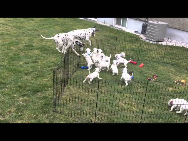 12 adorable Dalmatian puppies watch Mom and Dad play.