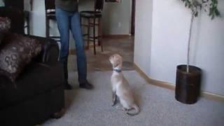 Yellow Labrador Lab Puppy Shows His Early Training Skills! - Highdesertlabradors.com