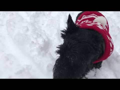 TOUGH as NAILS Scottish Terrier. Deep Snow, Little Legs, Big Heart.