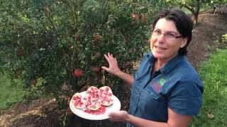 Pomegranate - Elche Shows The Tree and how they Fruit with growing Guide