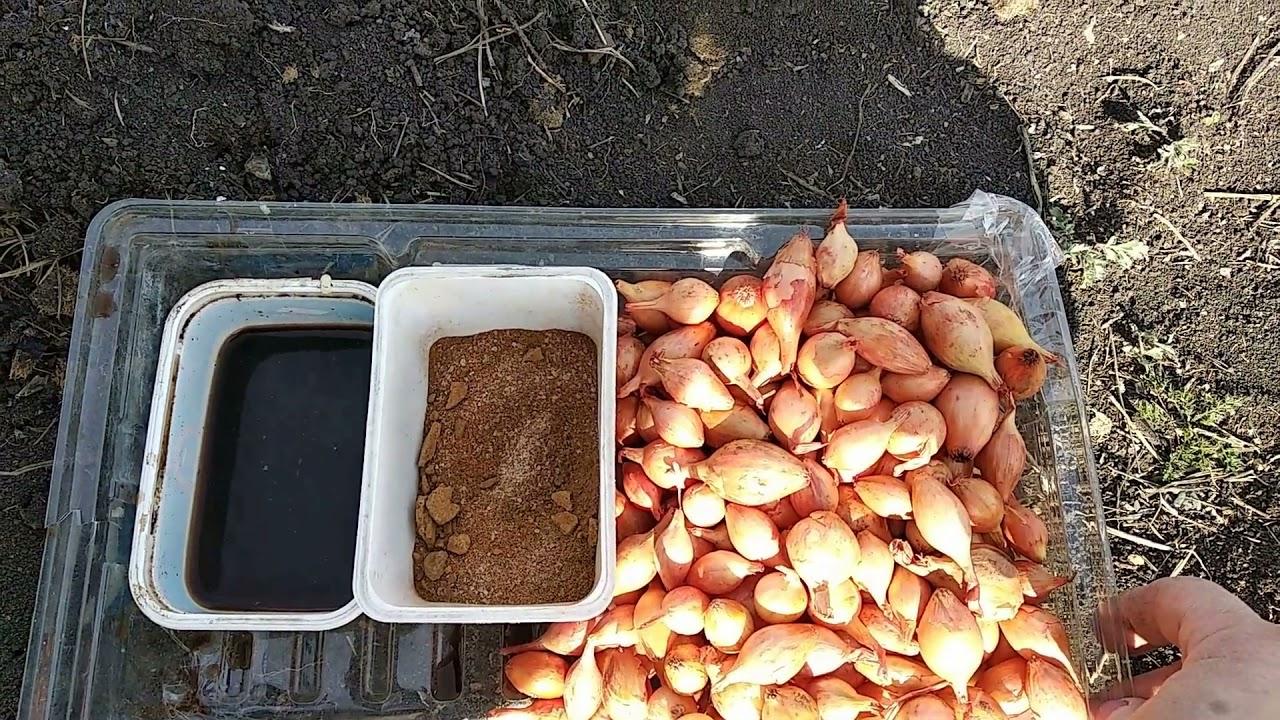 Как защитить посадки от проволочника и других вредителей, садим  лук - севок 1 мая.