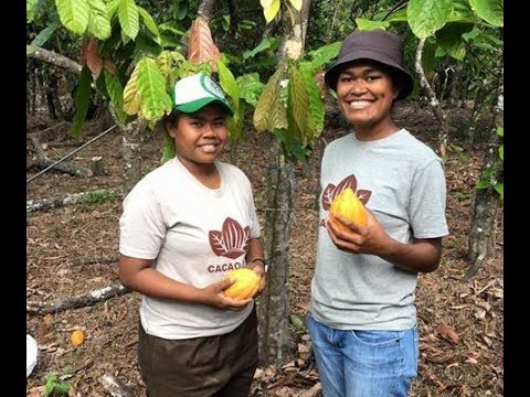 Revival of the Fiji cacao industry