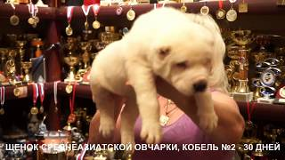 Щенки Алабая - среднеазиатская овчарка, 30 дней. www.r-risk.ru +79262205603 Татьяна Ягодкина