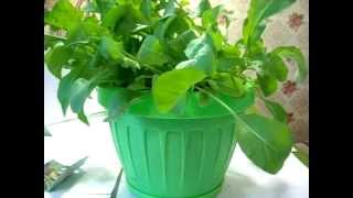 видео Рукола - выращивание салата из семян на подоконнике и уход в домашних условиях