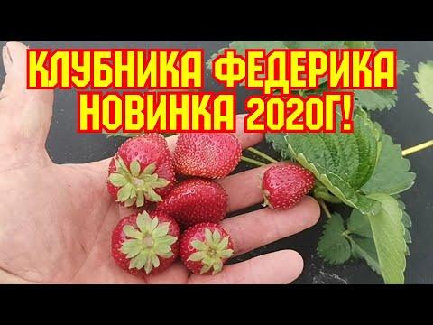 /Новинка 2020г! Продолжение сортов АЗИЯ и СИРИЯ, - клубника ФЕДЕРИКА! /
