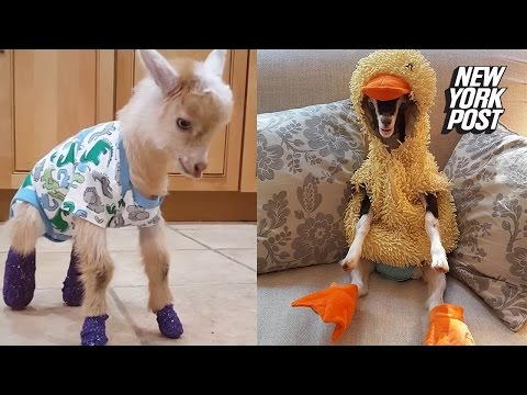 These goats are dressed up in adorable costumes for their healing process