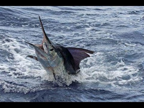 Extreme Fishing - Most Biggest Swordfish 520 lb
