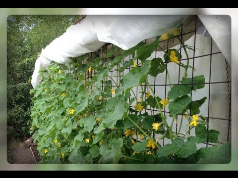 Сажаем огурцы в почву. Выращивание огурцов на шпалерах, под укрывным материалом