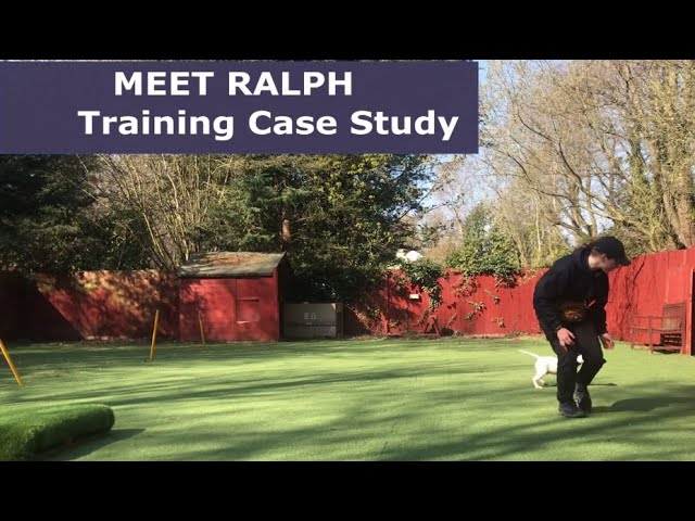Ralph Case Study - Bull Terrier General Obedience Training