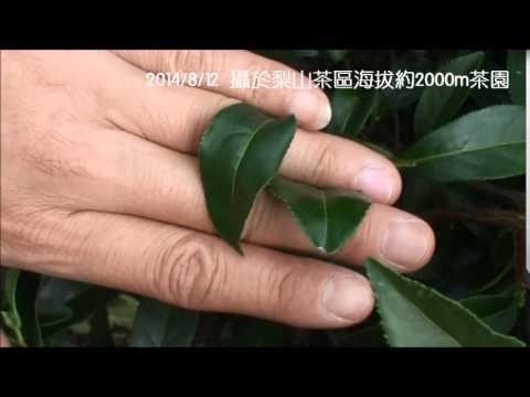 茶小綠葉蟬 - YouTube