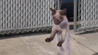 Cat dancing to Renai Circulation