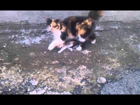 Кошка переносит котят)