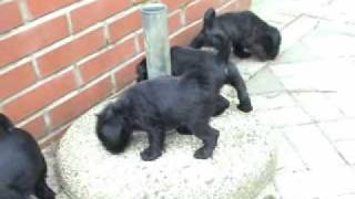 Miniature Schnauzer Puppies Kennel Vestigia Ares