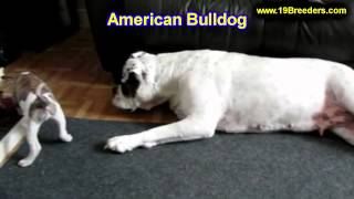 American Bulldog, Puppies, For, Sale, In, Edmond, Oklahoma, Ok, Cleveland, Comanche, Canadian, Roger