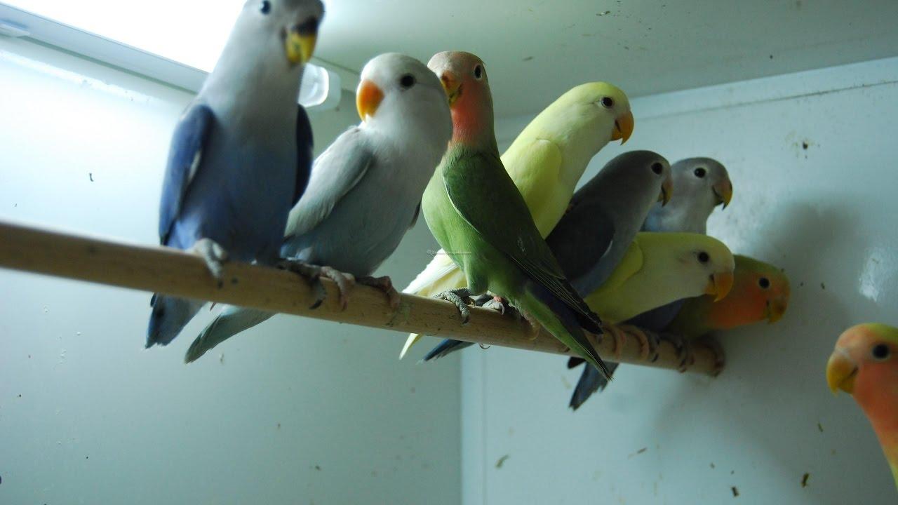 أجمل طفرات طيور روز معرض هولندا Youtube