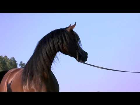 O! Arabian - A Film Loveletter to the Incredible Arabian Horse