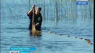 Более 250 тысяч мальков пеляди выпустили в Братское водохранилище