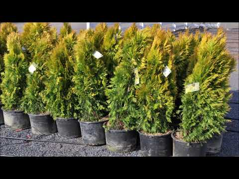 """""""ever Golden"""" Compact Privacy Trees      Grown Near Warrington Pa       Forever Goldy"""