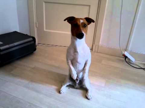 funny jack russell terrier (very funny)