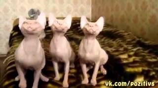 Хор кошек прикол