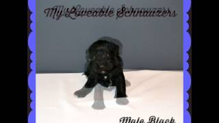 Myloveableschnauzers.com