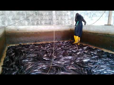 Harvesting Catfish In A Concrete Pond