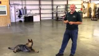 Obedience Protection Trained German Shepherd For Sale Bean Von Prufenpuden