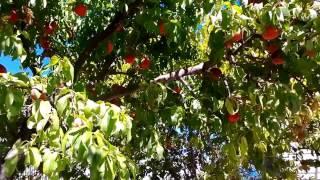 видео Джекфрут – фрукт для любителей экзотики