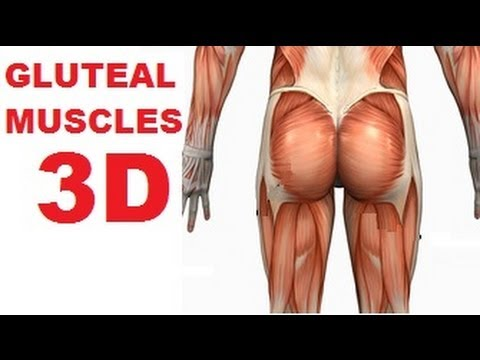 Muscles of the Thigh and Gluteal Region - Part 1 - Buttocks Muscles