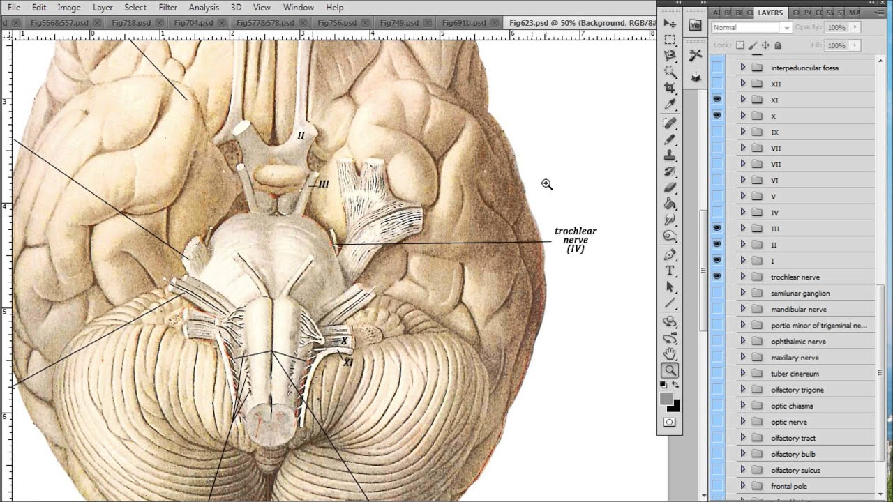Anatomy       Diagrams    and Medical Illustrations  YouTube