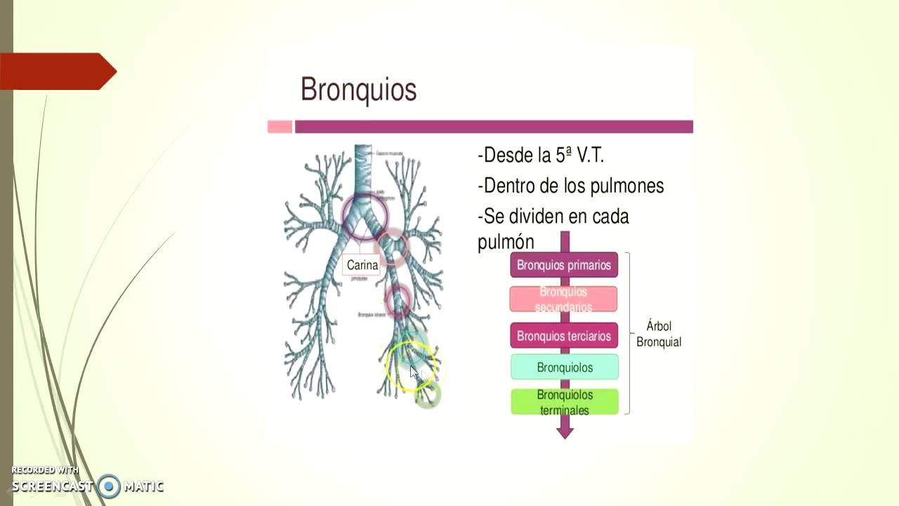 Anatomia del Sistema Respiratorio Inferior - YouTube