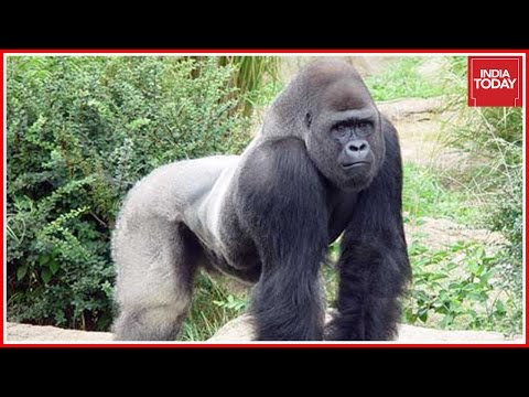 Speed News | Cincinnati Zoo, Ohio Stands By Its Decision To Shoot Gorilla