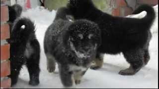 тибетский мастиф,щенки 6 недель 5