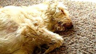 Wake Up Eddie! Daddy's Home!! - Sleeping Snoring Labradoodle Dog