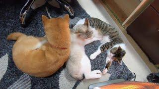 机の下に集まる3匹(猫2匹、犬1匹)