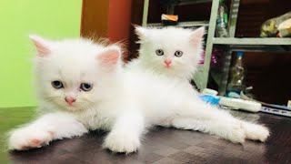 Good quality heavy bone beautiful Persian kittens available for sale