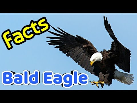 Amazing Facts About Bald Eagles - National Bird Of USA