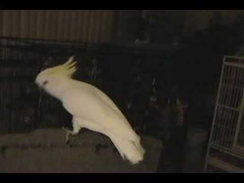 Snowball (TM) - Our Dancing Cockatoo