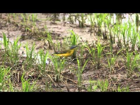 Eastern yellow wagtail, 東方白眉黃鶺鴒