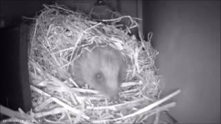 Hedgehog Nesting
