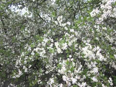 Как цветет вишня