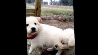 5 Weeks Old-  Great Labenees (great Pyrenees/ Choc. Lab) Puppies