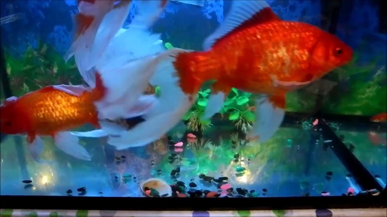 Золотая рыбка комета в аквариуме. - YouTube