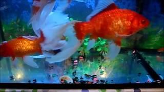 Золотая рыбка комета в аквариуме.