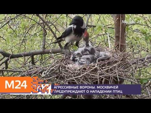 Москвичей предупредили об атаках ворон - Москва 24