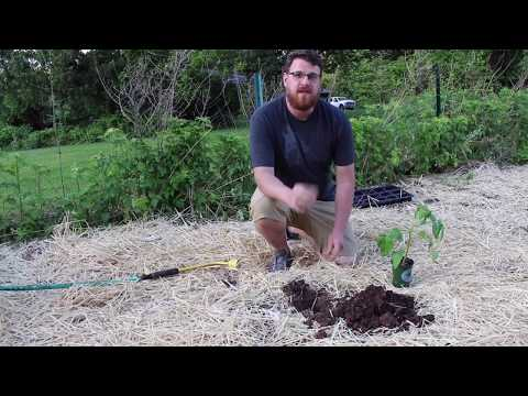 The proper way to plant tomatoes in New Jersey