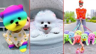 Funny and Cute Dog Pomeranian   Funny Puppy Videos #48