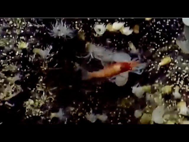 Первая минута жизни: креветка напала на новорождённого осьминога
